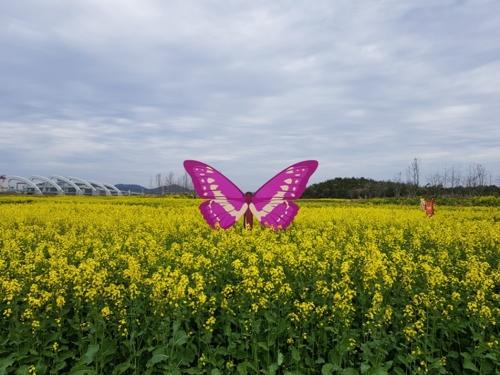 [카메라뉴스] 해남 구성지구 간척지에 유채꽃 물결 장관
