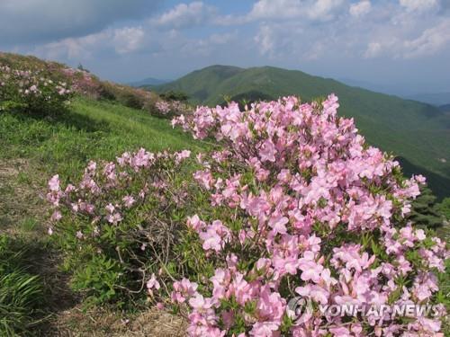 연분홍 철쭉군락 즐기세요 단양소백산철쭉제 23일 개막
