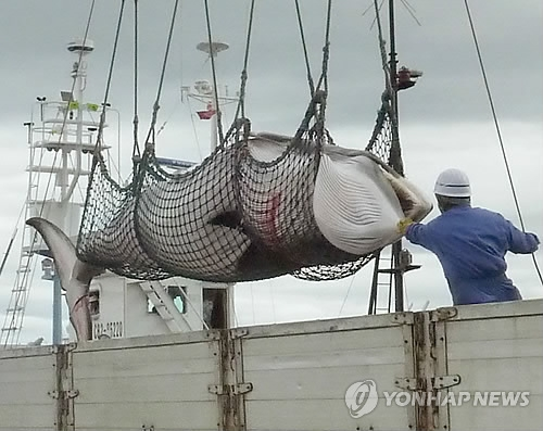 This undated file photo released by Kyodo News shows a minke whale after it has been caught. (Yonhap)