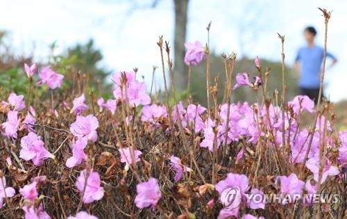 Amid unseasonably warm weather, royal azalea is in full blossom on a university campus on Jeju Island on Jan. 7, 2020. (Yonhap)