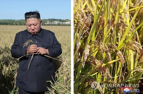 This photo, released by the Korean Central News Agency on Oct. 9, 2019, shows North Korean leader Kim Jong-un inspecting a rice farm in Pyongyang. (For Use Only in the Republic of Korea. No Redistribution) (Yonhap)