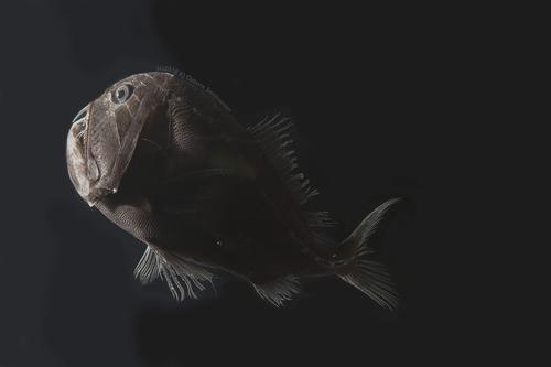심해이빨흑고기'(Anoplogaster cornuta)