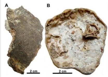 티타노사우르의 알 화석과 배아 두개골