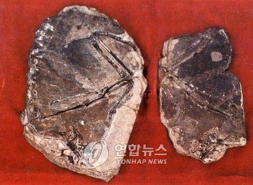 북한이 1989년 신의주에서 발굴한 '조선시조새' 화석 [연합뉴스 자료사진]