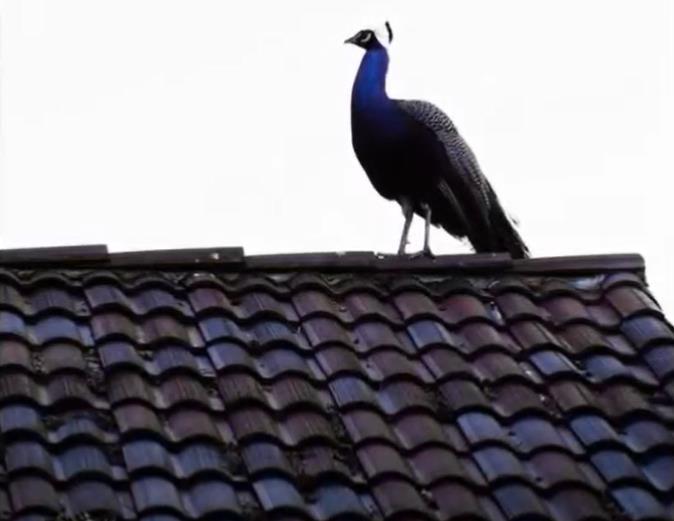 미국 캘리포니아 남부 도시에서 지붕 위에 오른 공작[유튜브 캡처, DB 및 재판매 금지]