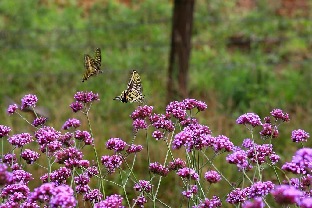보랏빛 꽃들 사이로 춤을 추는 나비들 [사진/전수영 기자]