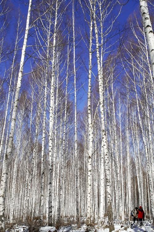 인제 자작나무숲 '순백의 화려함'