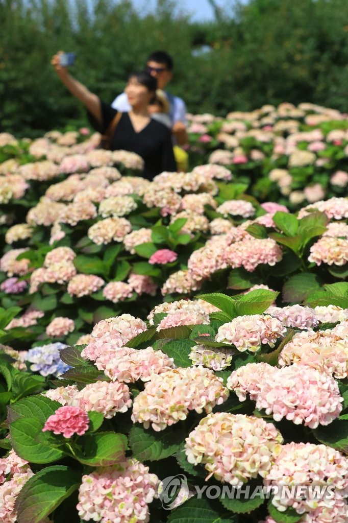 Hydrangeas reach full bloom on S. Korean island