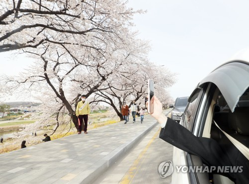 Looking at cherry blossom by car