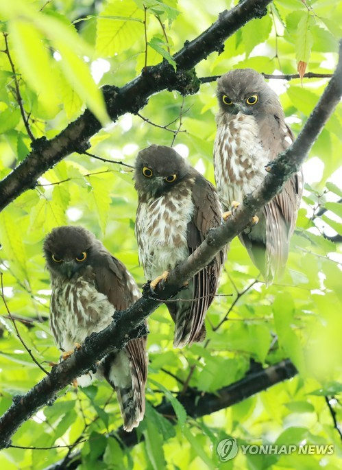 Brown hawk-owls
