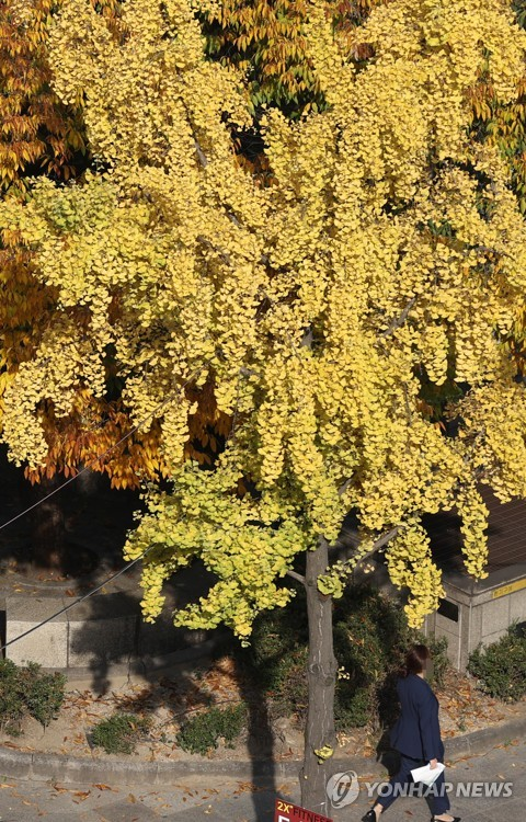 Gingko tree turning yellow