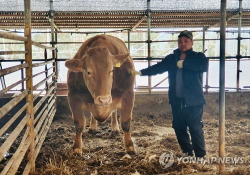 Super 'hanwoo' cattle